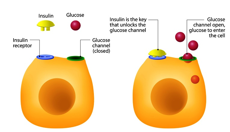 Functions of insulin